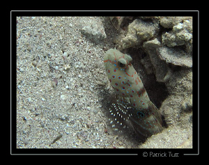 Goby in Marsa Shagra - Egypt - Canon S90, natural light by Patrick Tutt 